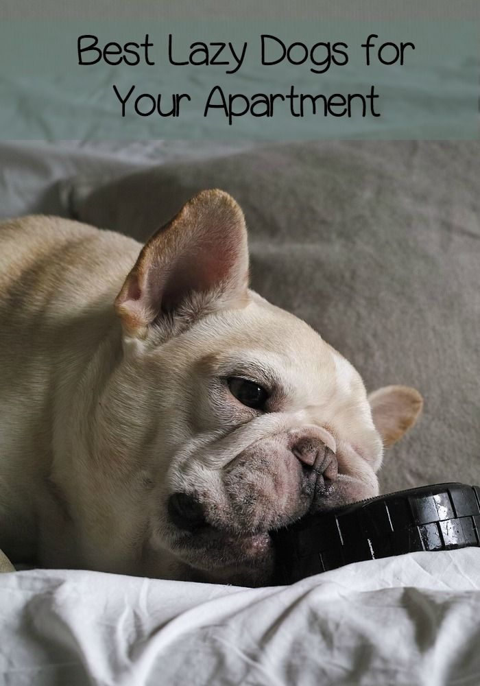 The Best Lazy Dogs For Your Apartment Are Not Always Smallest Breed Ever Thought Of Having A Bullmastiff Check Out These Breeds