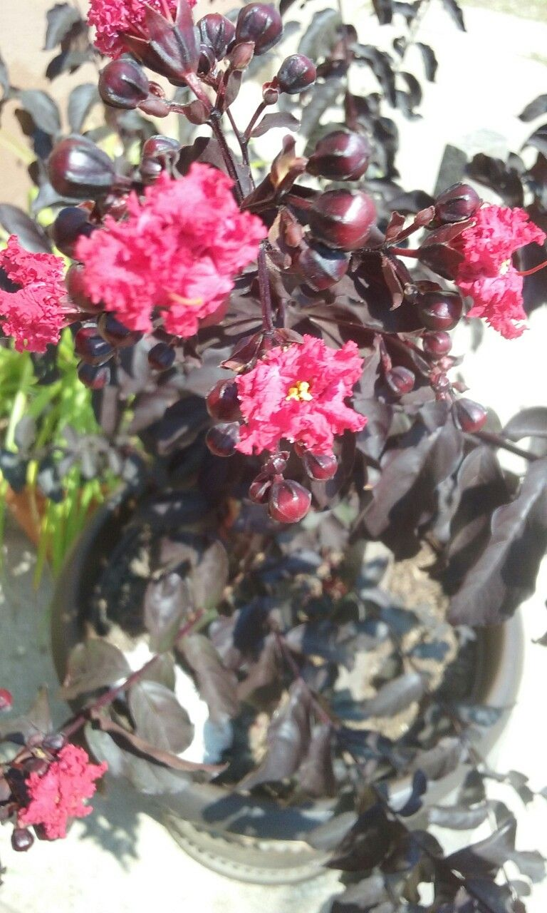 My special needs grandsons garden my black leaf crepe myrtle just my special needs grandsons garden my black leaf crepe myrtle just starting to bloom red nvjuhfo Choice Image