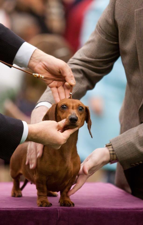 Westminster Kennel Club Doxie Dogs Weiner Dog Dachshund Love