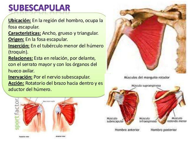 Músculos miembro superior | TBE | Pinterest | Músculos, Miembro y ...