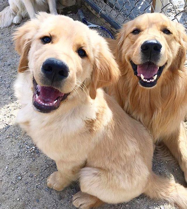 Happy Pals Golden Retriever
