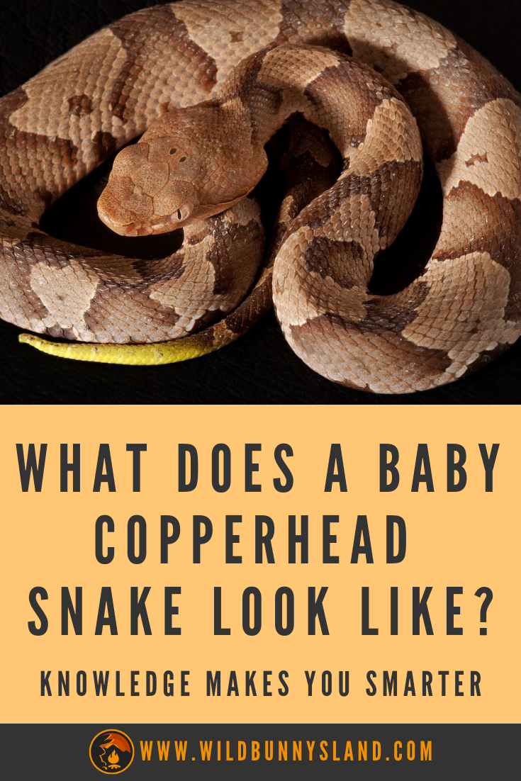 What Does A Baby Copperhead Snake Look Like Baby Snakes Snake Baby Rats