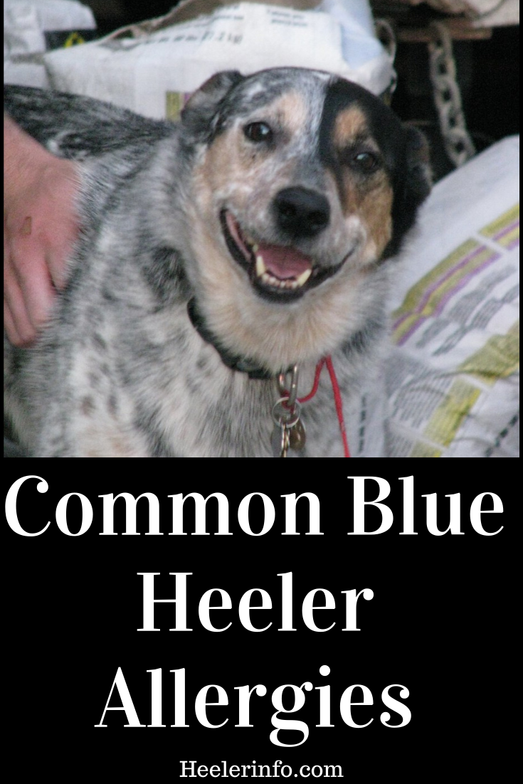 Australian Cattle Dog food and other common allergies in