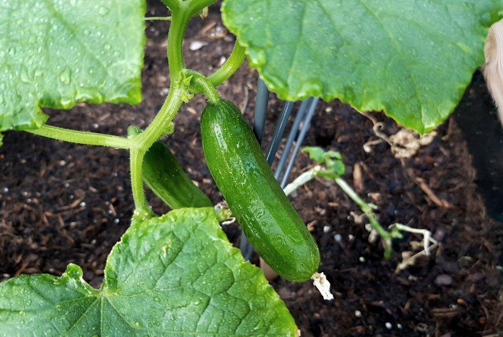 Gurken Pflegen Tipps Fur Eine Reiche Ernte Garten Bepflanzen Hochbeet Pflanzen Und Gurkenpflanze