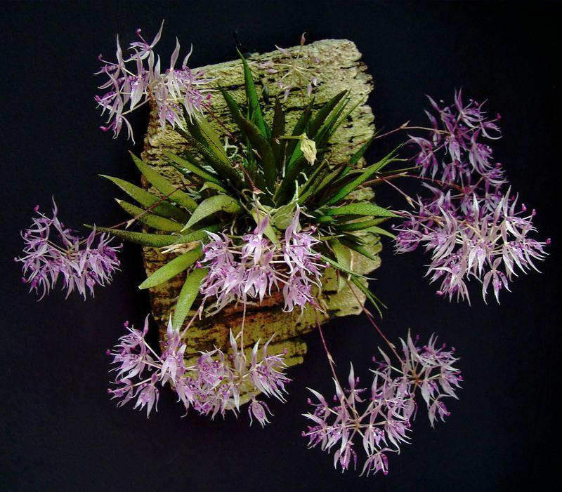Macroclinium manabinum   Orchids Online