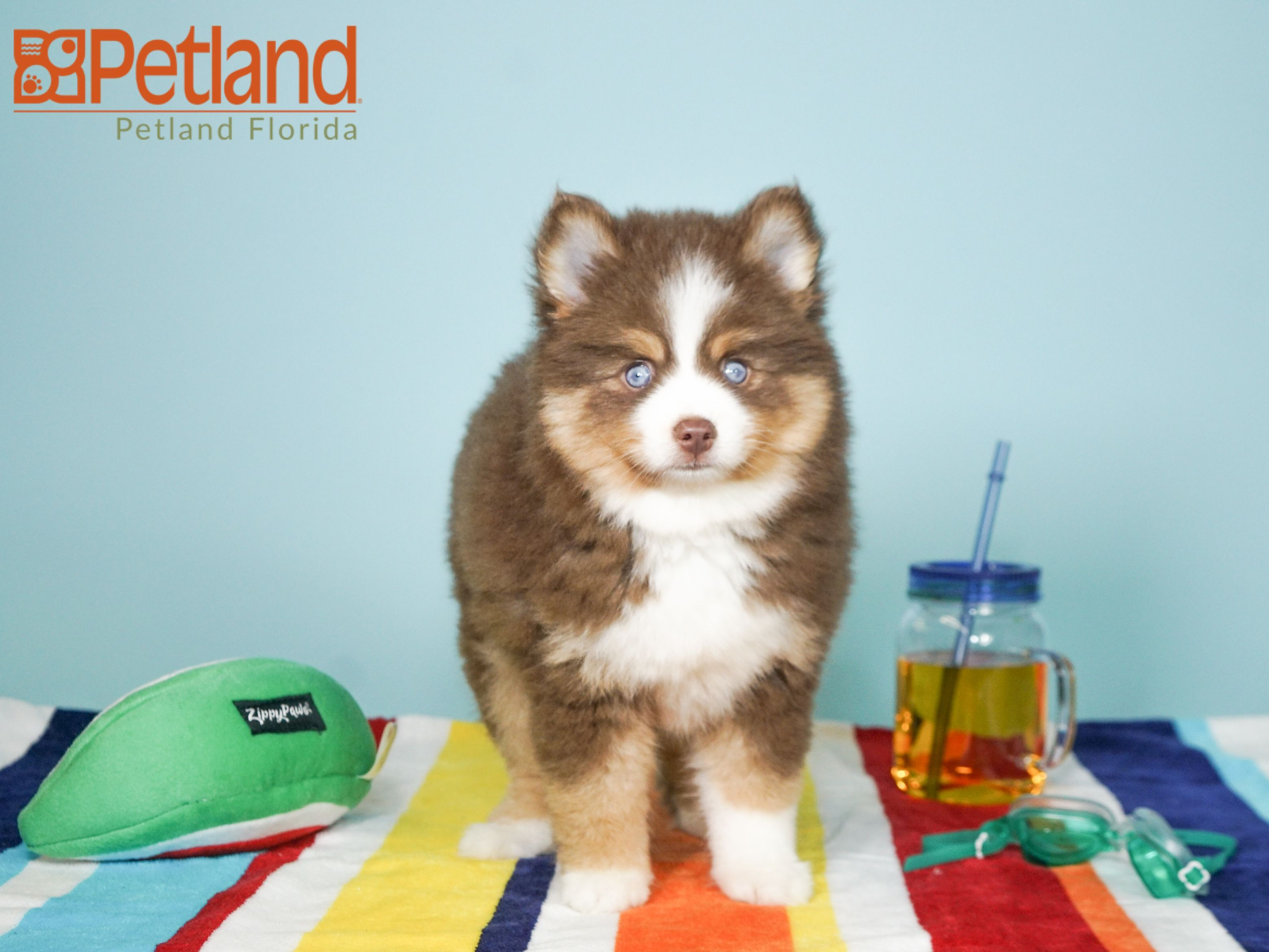 Puppies For Sale Pomsky Puppies Puppy Friends Pomsky Puppies