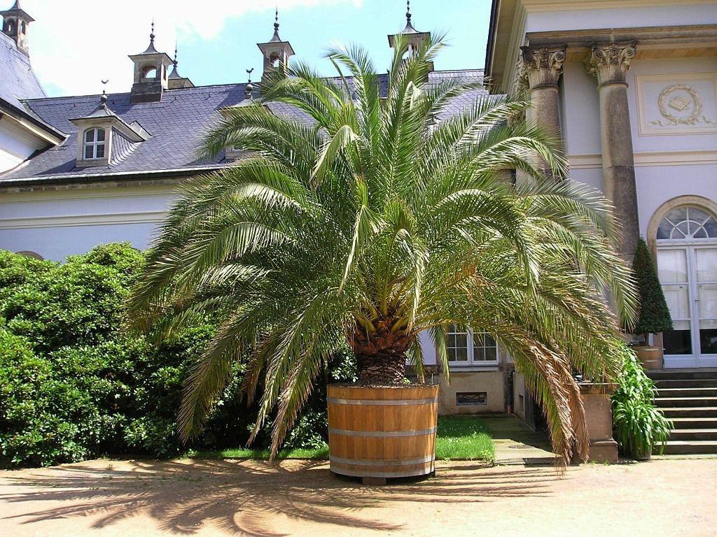 phönix palmen pflege