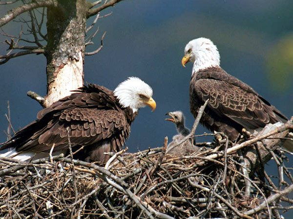 Two Bald Eagles With An Eaglet At Raystown Lake Near Huntingdon Pa