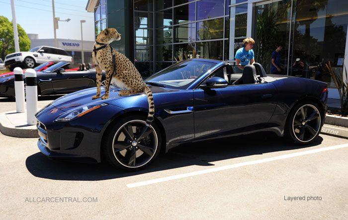 The Cheetah Or The Jaguar 2014 Jaguar F Type Test Drive