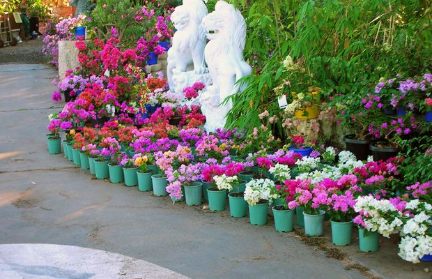Home Garden Bouganvillea Colorful Colors  Home  Garden  Pinterest
