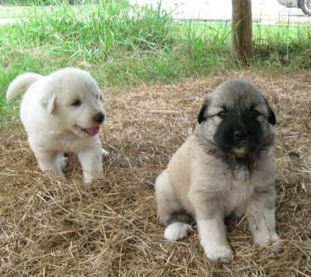 Lgd Puppies Anatolian Shepherd Great Pyrenees Fl Sold