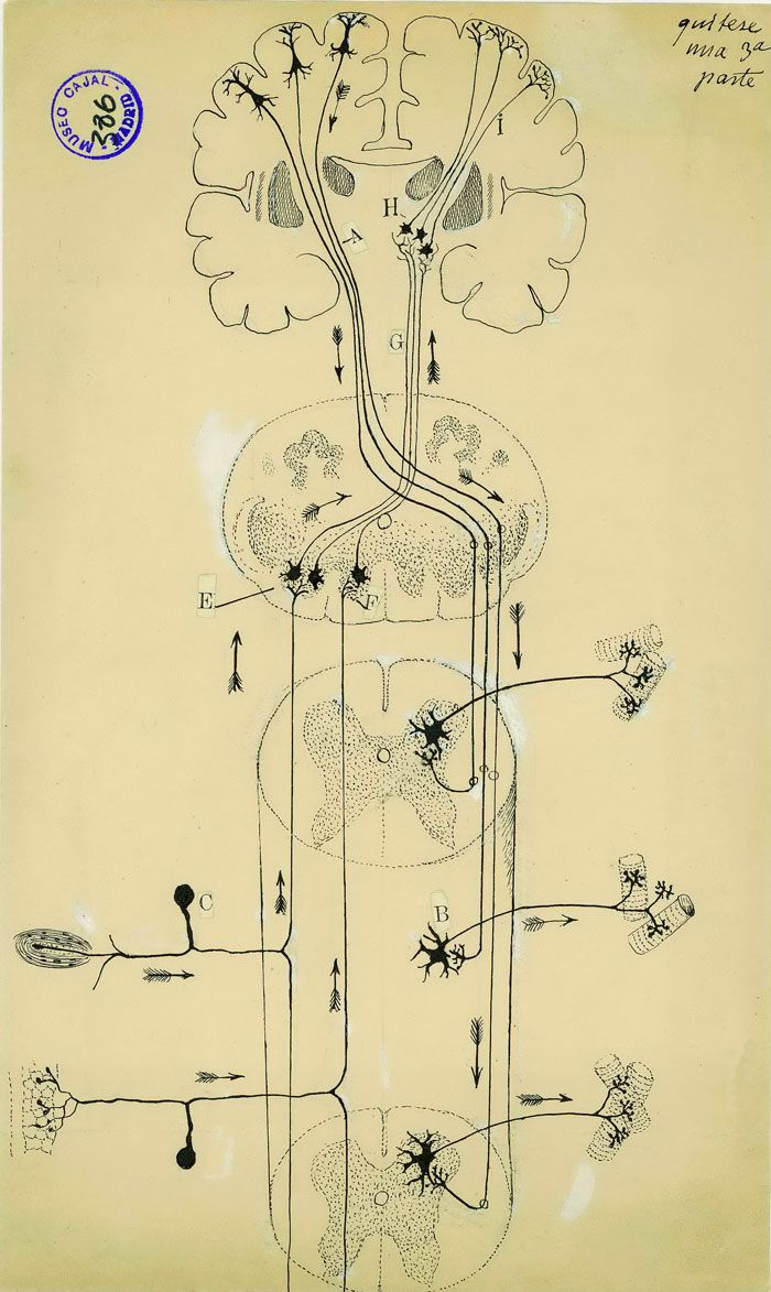 by Santiago Ramon y Cajal - In this diagram of the spinal cord ...