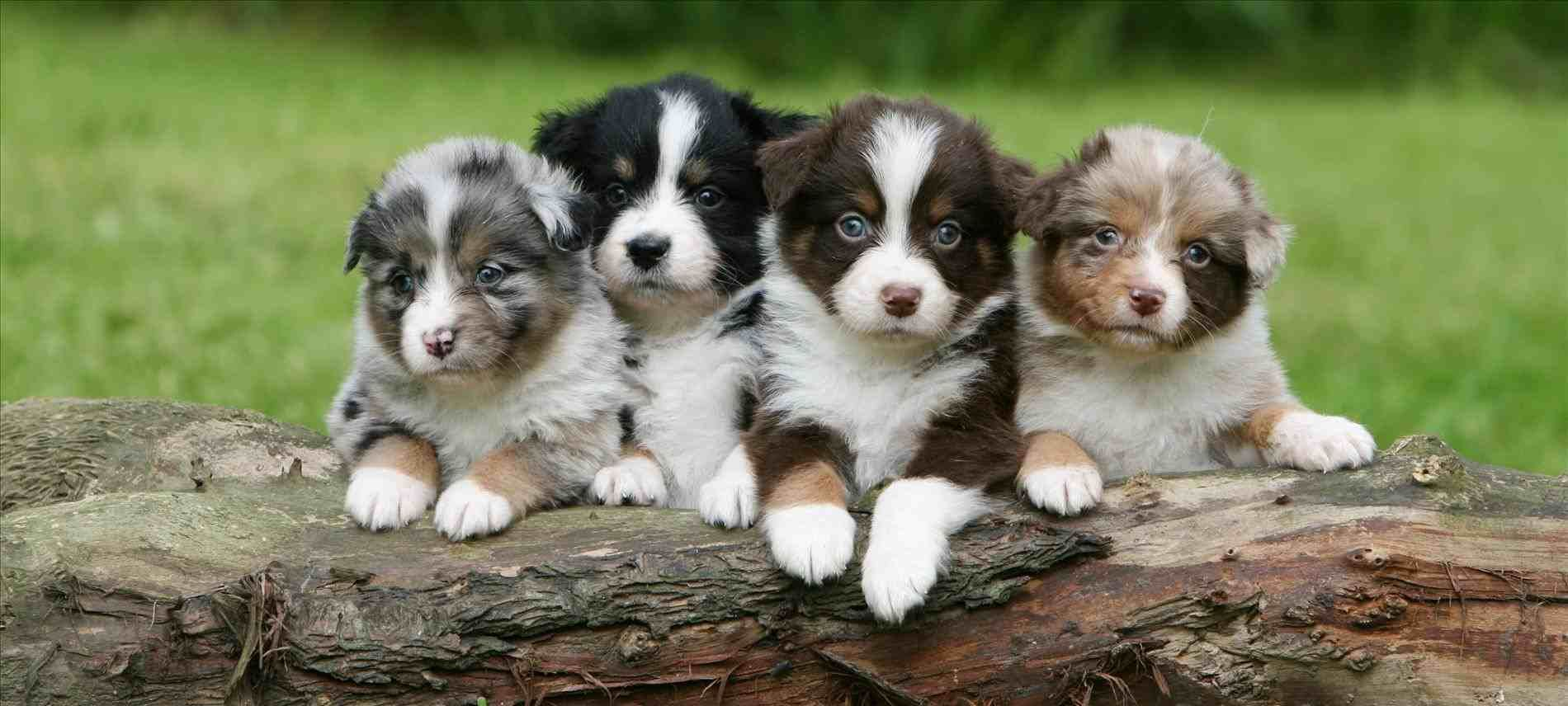 Tails For Sale Miniature Australian Shepherds Shepherd In Hoobly