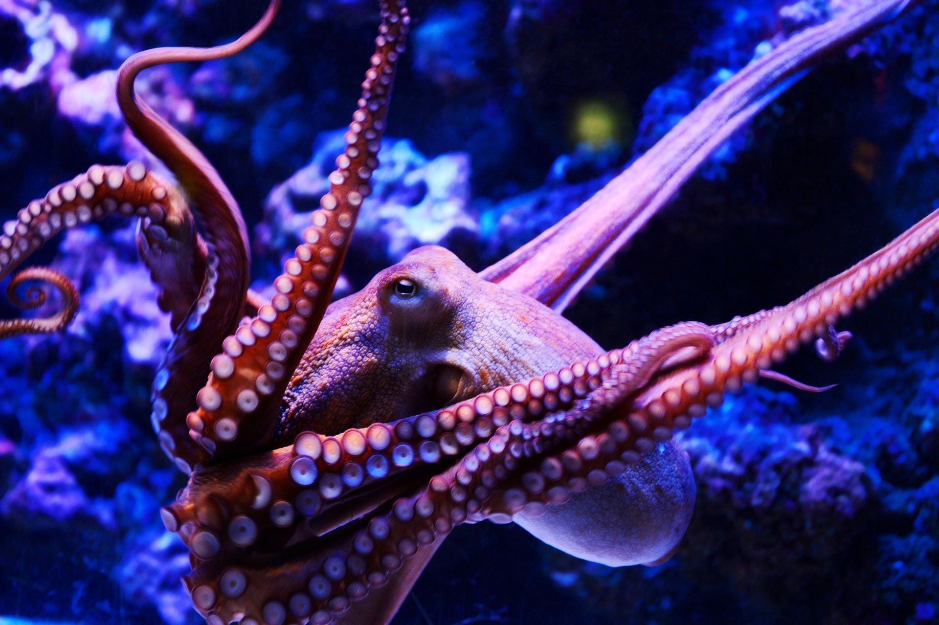 What Would Inky Think: Is It OK to Cage an Octopus?   WIRED