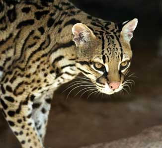 Ocelot Wild cats, Ocelot, Spotted cat