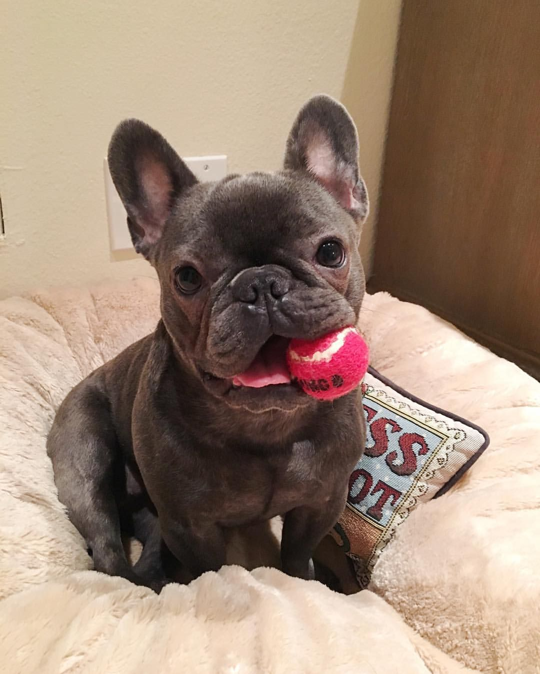 Wanna Play Yes Please Adorable French Bulldog Puppy