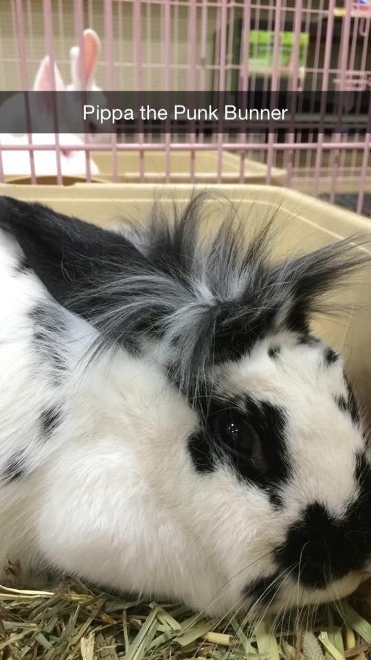 Pippa !  #adoptdontshop #bunnies #animalrescue