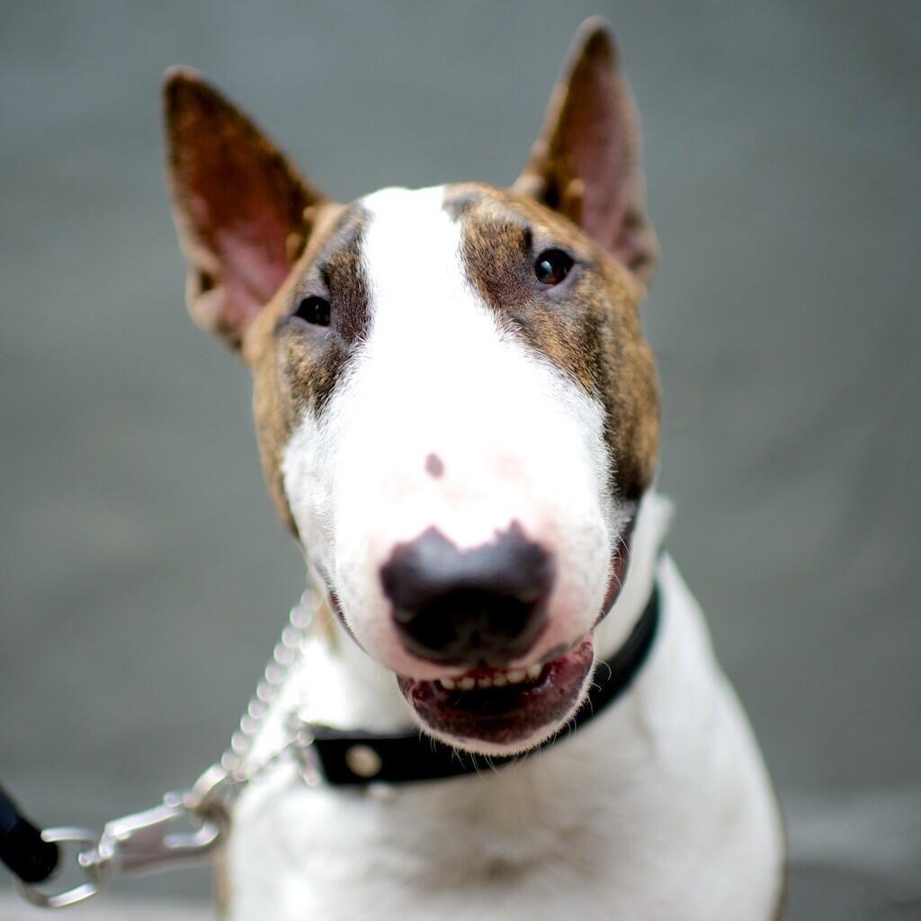Ann Brocklehurst English Bull Terrier & Miniature BT