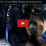 Rottweiler – Crying? What Happend? (Video)  The video on next page has stunning  7,096,058 ( 7 Mio )  views!!  Dogs have emotions too and you can clearly see it in their eyes.   In this video, the owner of two Rottweilers that were rescued from a shelter has recorded the grief of one dog as he cries over the body of his deceased twin.     Novix wrote in the video comments:   Rottweilers and Pitbulls. People judge them by appearance and background stories but they're some of the best ..