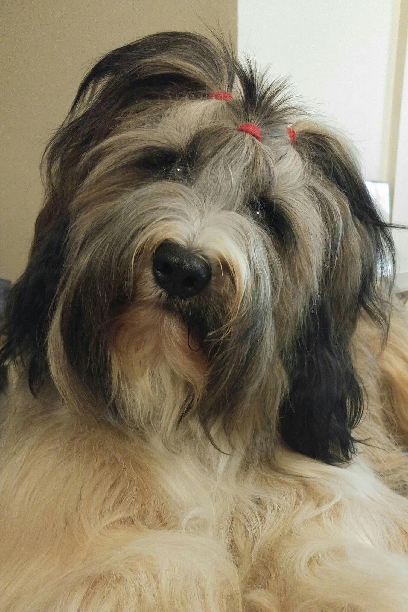Tibetan terrier puppies for sale scotland