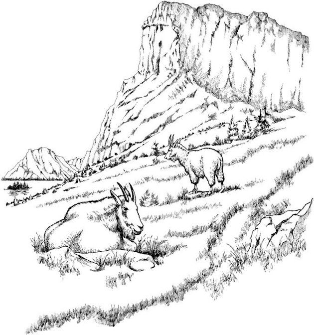 Mountain Goats Adult Coloring Pages Coloring Pages Animal Coloring Pages