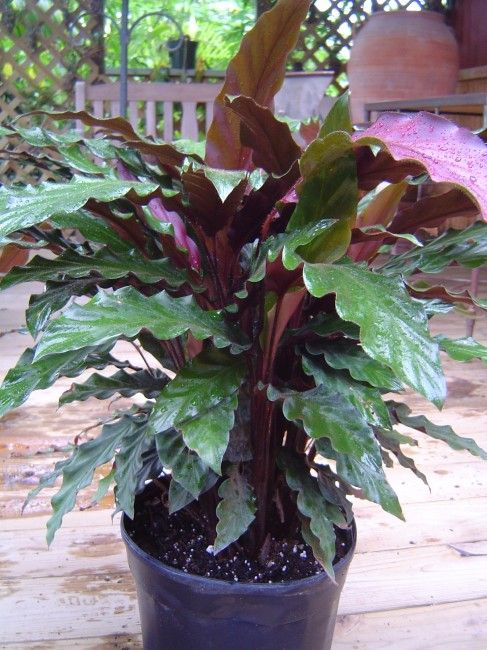 calathea rufibarba plant wish list en 2018 pinterest jardins plante jardin et planter des. Black Bedroom Furniture Sets. Home Design Ideas