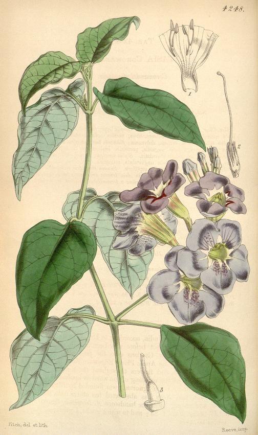 Asystasia Coromandelianda - v.72 [ser.3:v.2] (1846) - Curtis's botanical magazine.
