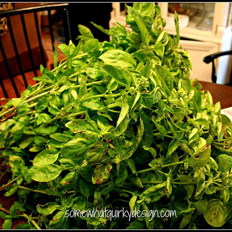 Winterizing basil . . .