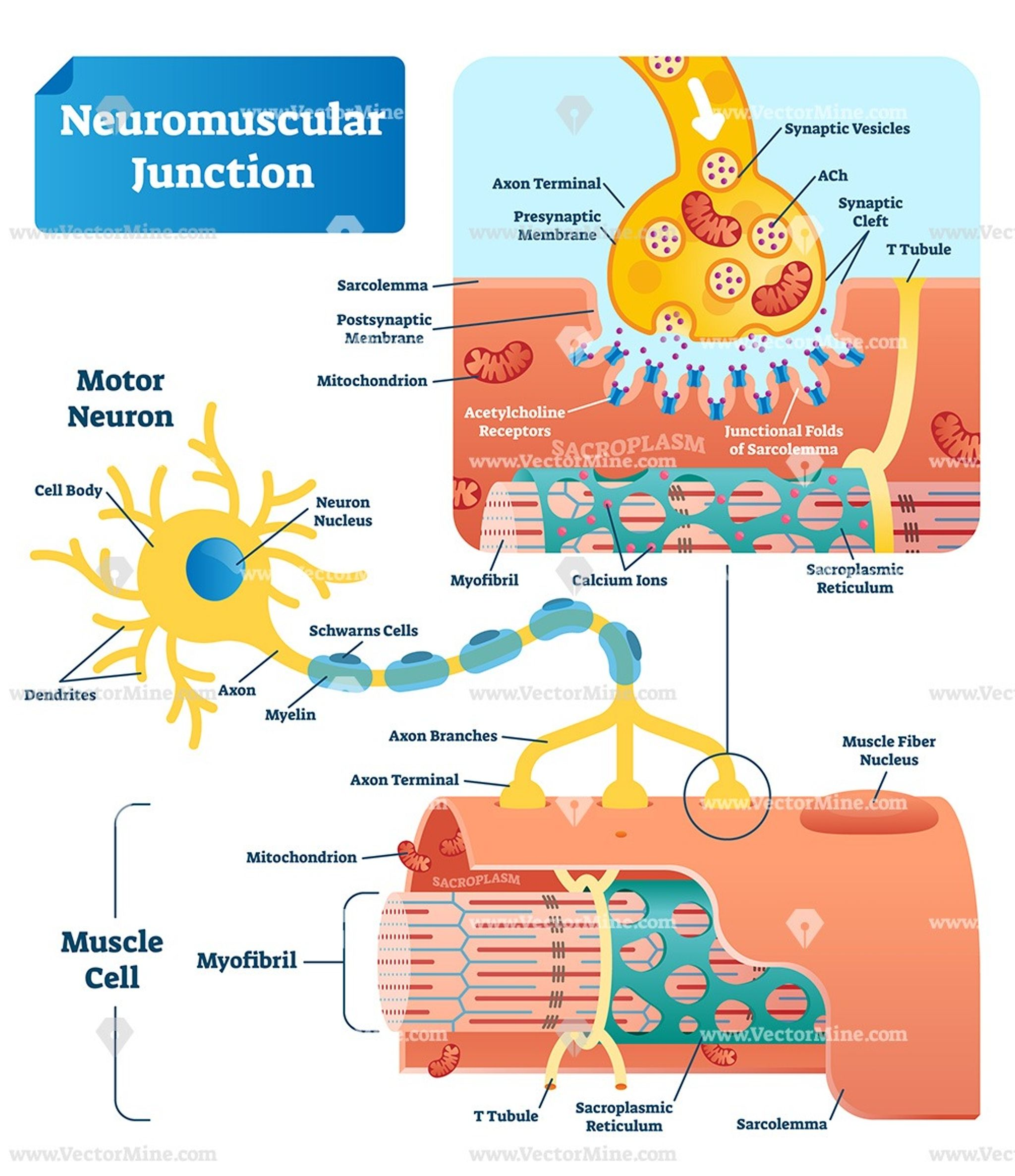 Neuromuscular Junction Biological Vector Illustration