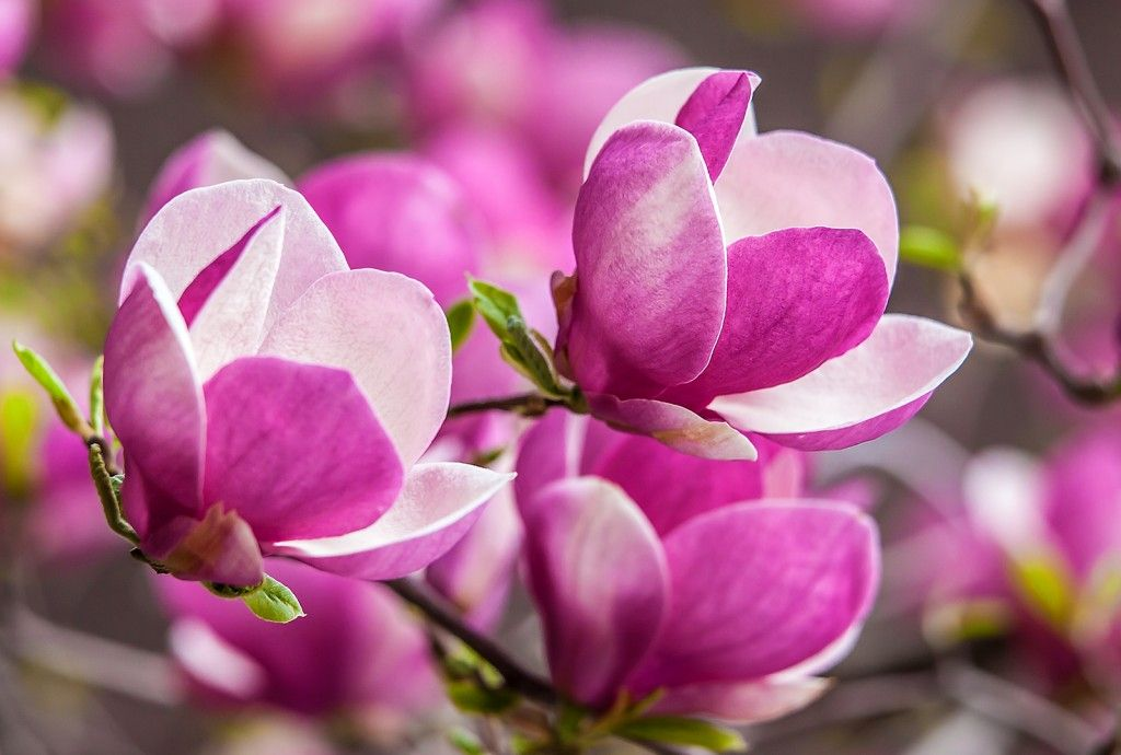 Magnolia Trees Blossom In Spring Magnolia Flower Flower Meanings Flower Essences