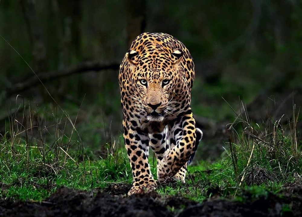 Indian Leopard What do they Eat? Where to spot Leopard
