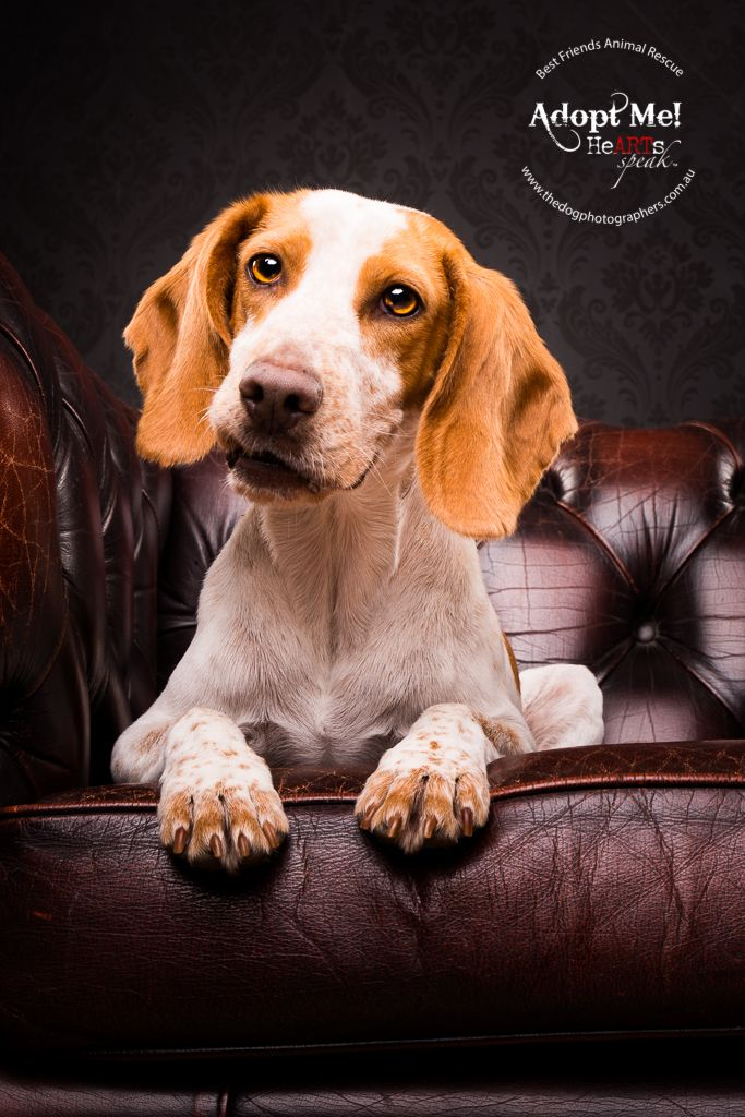 Angus Beagle X Http Thedogphotographers Com Au The Dog Ph Dog Photograph Pet Photography Studio Dog Photography