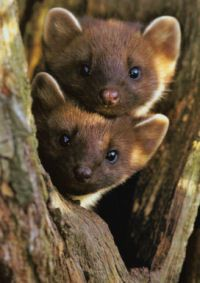 La martre my favorite mustelids pinterest animaux mammif res et photo animaux - Martre des pins ...
