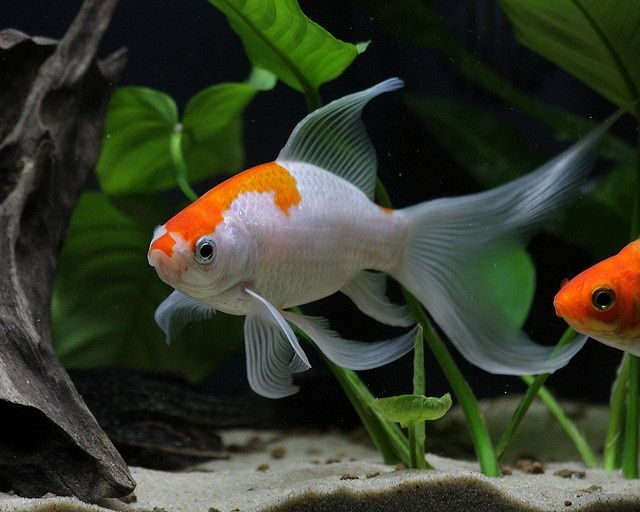 Japanese goldfish, Kingyo. 美しい魚, 金魚, 動物