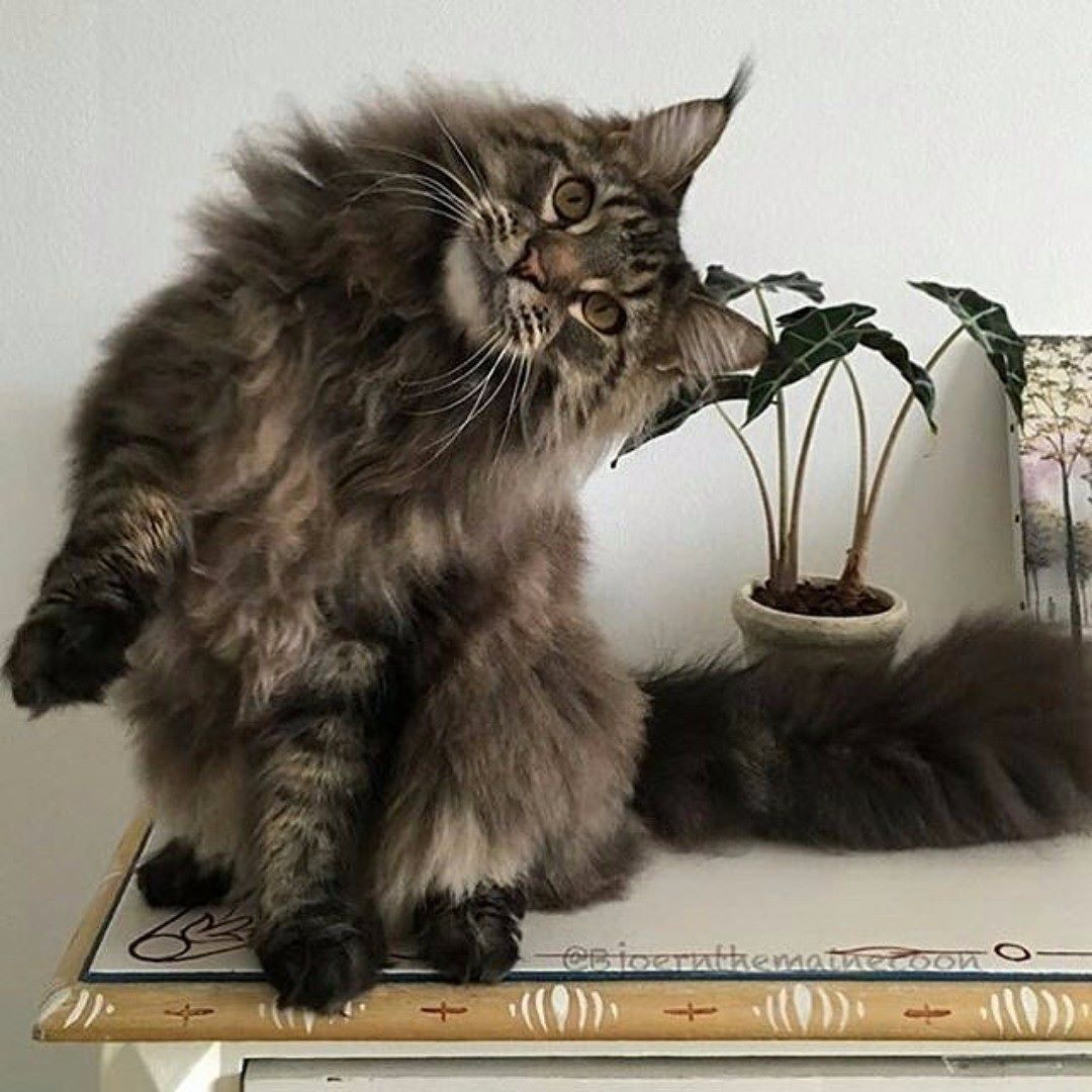 """Fun Facts  A cat's tongue consists of small """"hooks"""" which come in handy when tearing up food. #mainecoon #mainecooncat #mainecoons #mainecoon_id #mainecooncats #mainecoonstagram #mainecoon_feature #mainecoonkitten #mainecoonlovers #mainecoonsofinstagram #"""