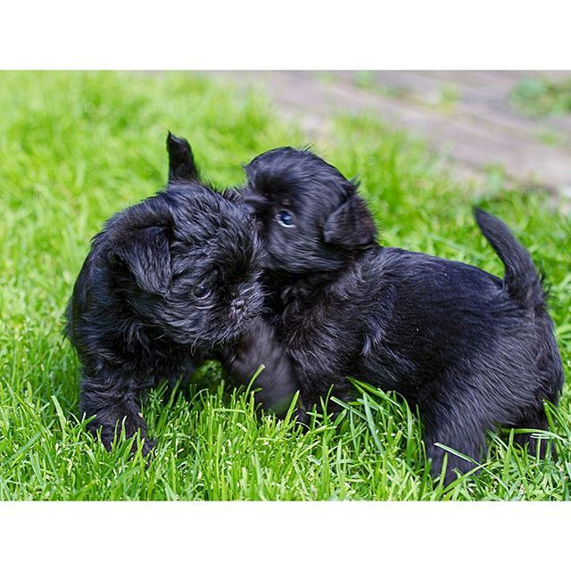 American Kennel Club On Instagram These Little Guys Are Affectionately Called Monkey Dogs Akcbreed Affenpinscher Puppy Affenpinscher American Kennel Club