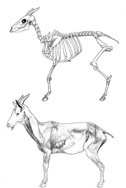 Goat Anatomy By Hellofence On Flickr