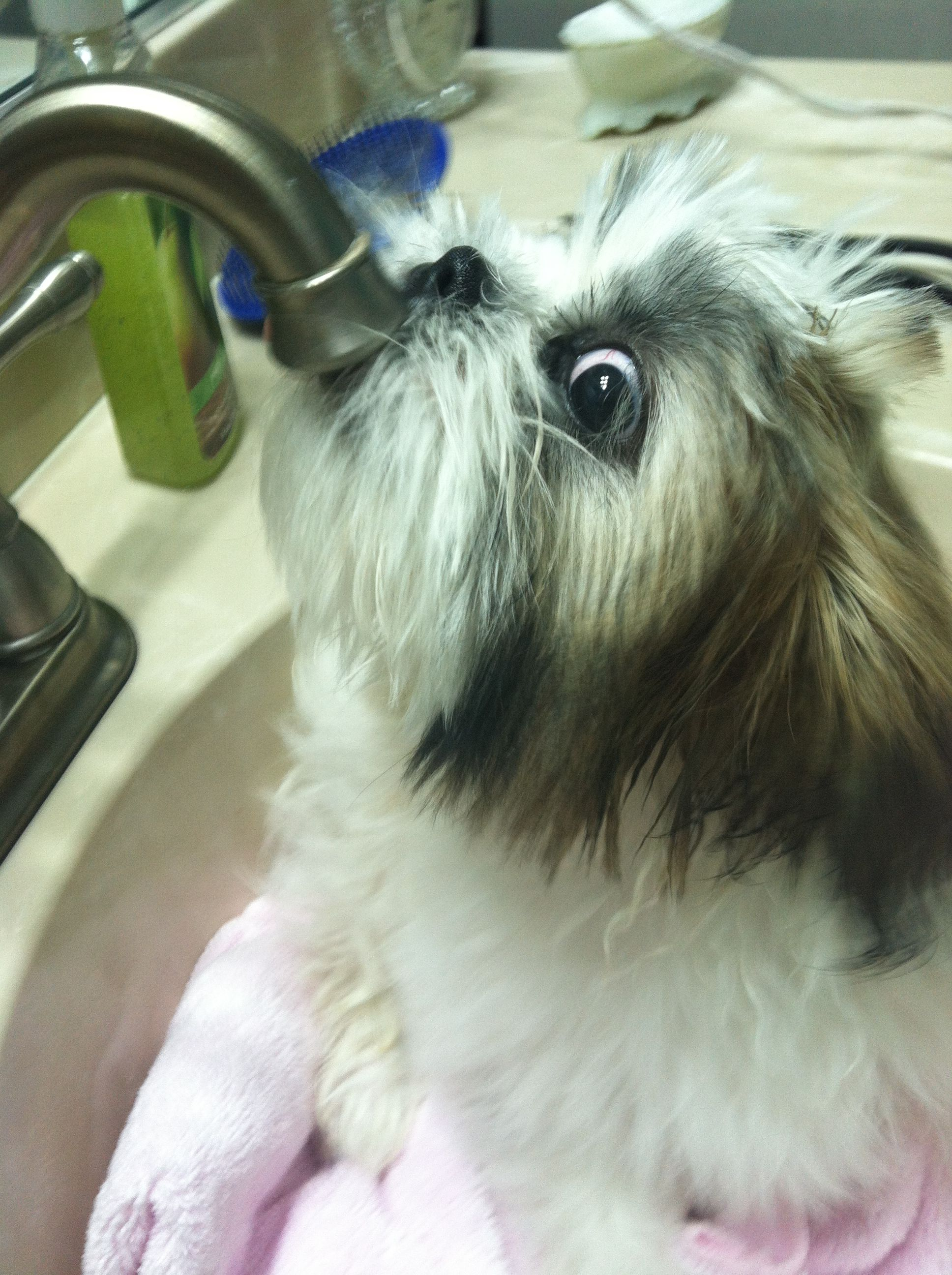 LOL! *Louie drinking from the faucet. Oh how I miss my Shih Tzu, Sh ...