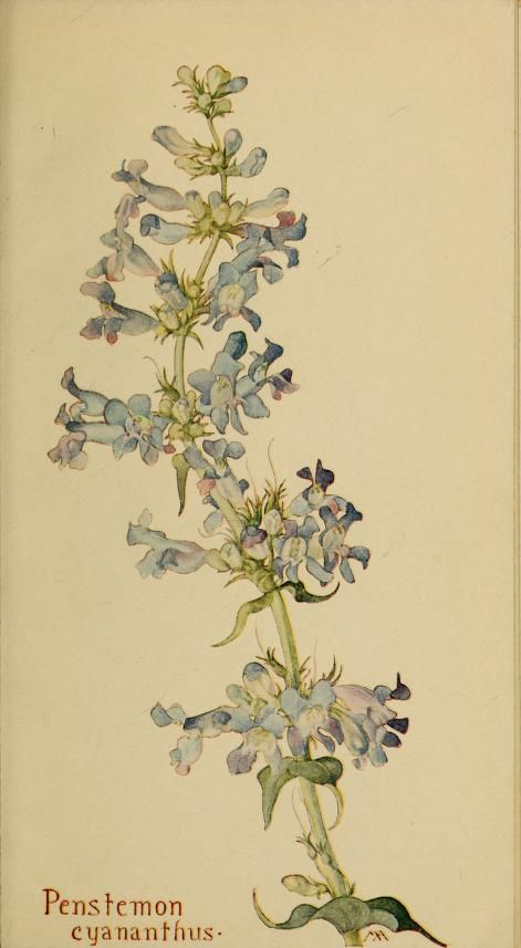 Penstemon cyananthus. Plate from 'Field Book of Western Wild Flowers' (1915) by Margaret Armstrong.