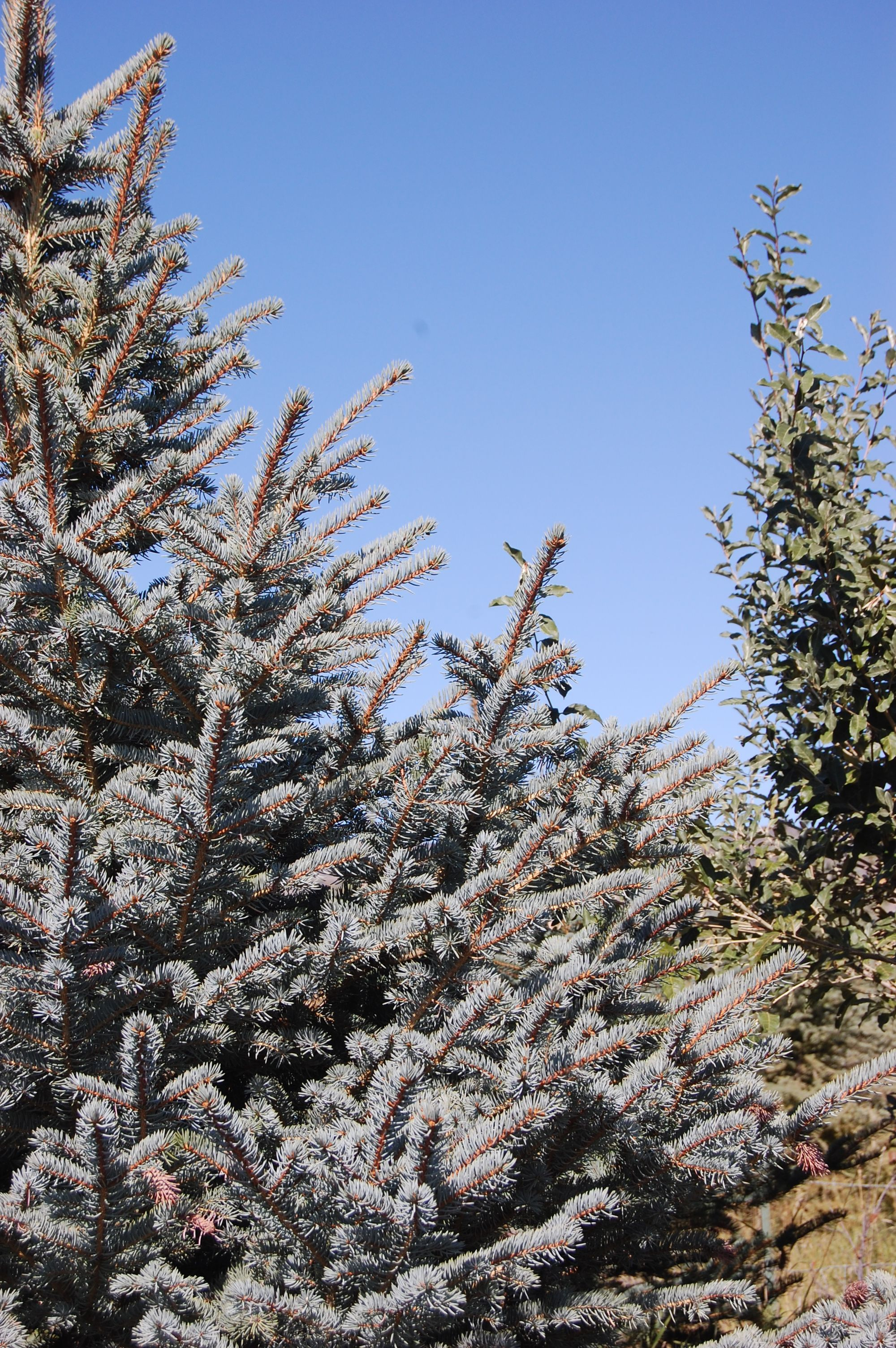 The Baird Tree Farm (With images) Blue spruce tree, Tree