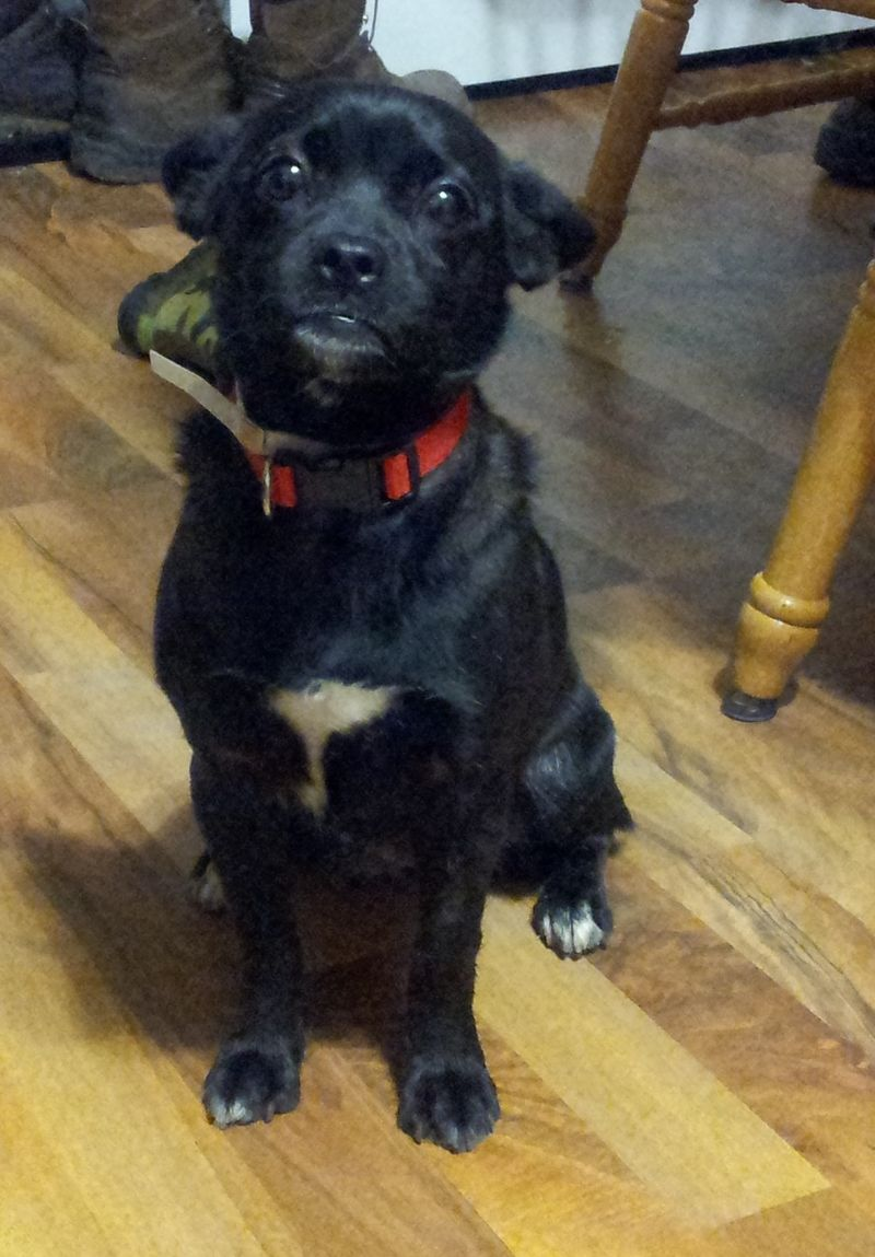 Adopt Pepper on French bulldog mix, Dog love, Cute animals
