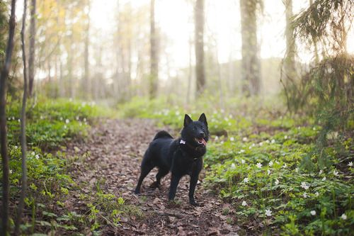 Schipperke on a path. munspel:  Vovve på språng