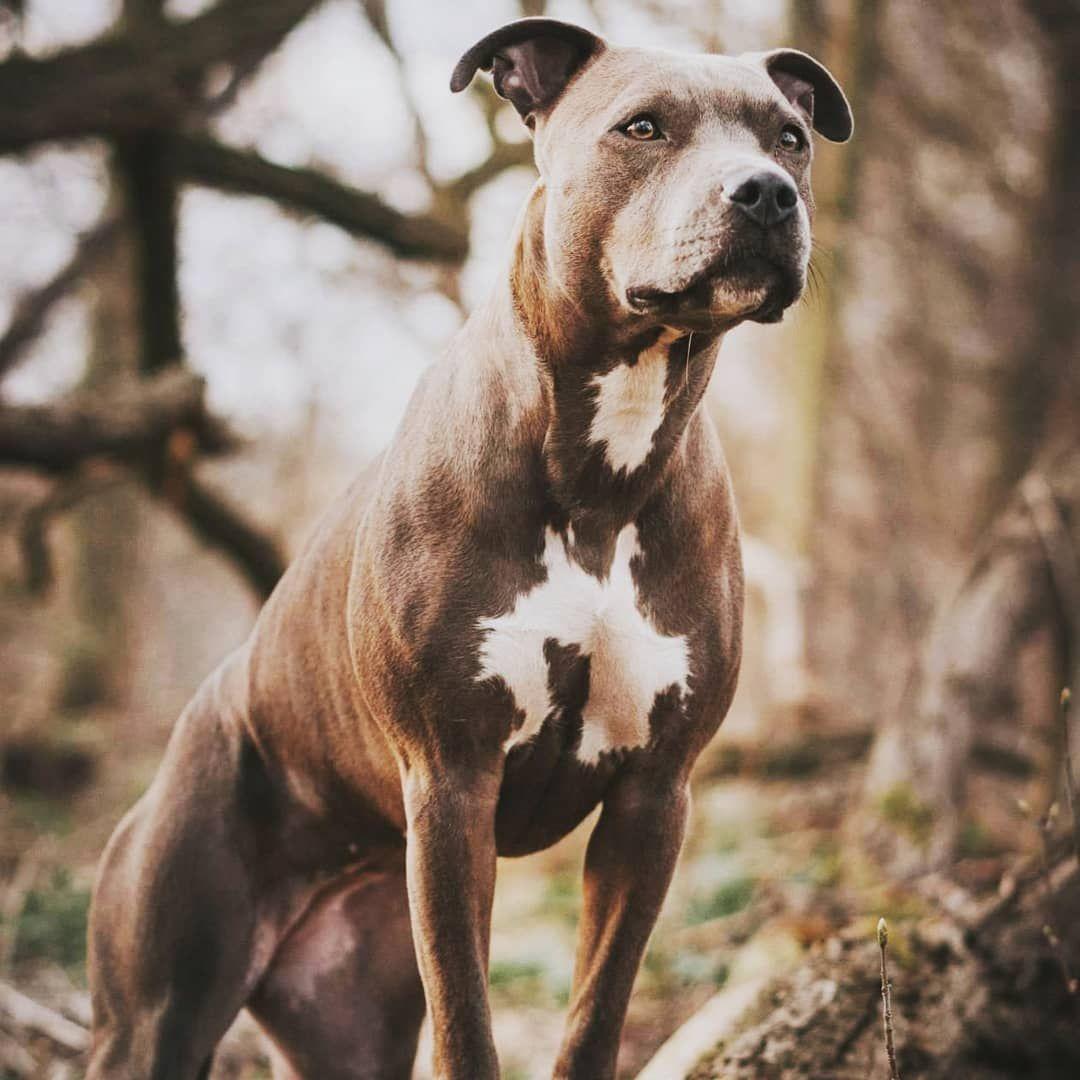 Guten Morgen Pitbullbaby Pitti Listenhunde Kampfhundistkeinerasse Kampfhundegibtesnicht Hundeliebe Hunde Besterfreunddesmenschen Animals Dogs Pitbulls