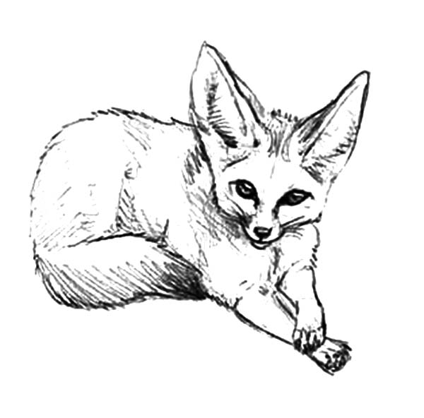 How To Draw Desert Fox Coloring Pages Netart In 2020 Fox Coloring Page Coloring Pages Fox Drawing