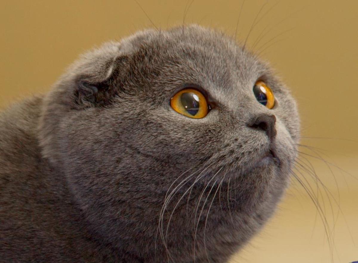 Scottish Fold Female Cat Scottish Fold Scottish Fold Cute Cats
