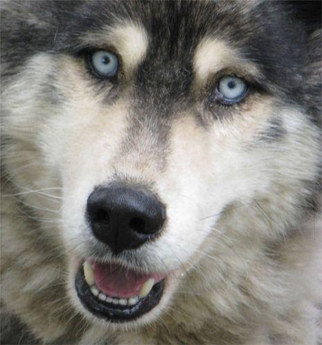 Alaskan Malamute Puppies And Dog Breeders Sled Dogs Malamute