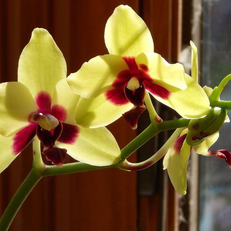 Storczyk Falenopsis Uprawa Pielegnacja Wymagania Zielony Ogrodek Orchids Growing Orchids Types Of Orchids