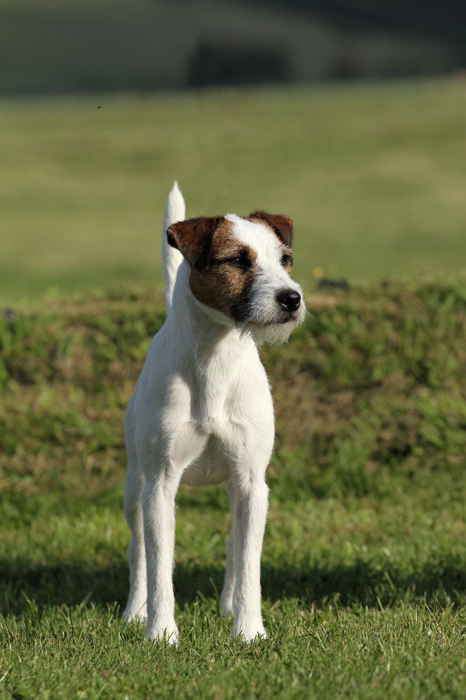 elevage des Vip mâle reproducteur Jack russell dogs