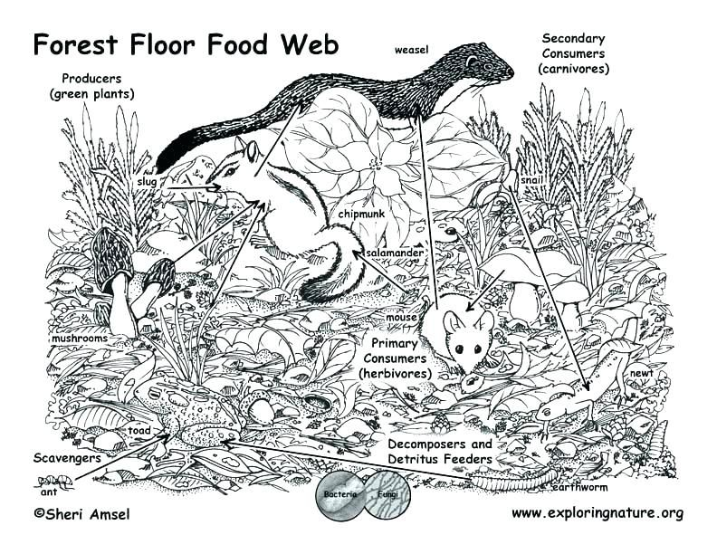 Forest Floor The Food Chain An Intricate Web Of Activity Food Web Bird Coloring Pages Coloring Pages