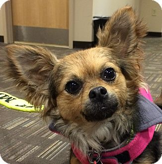 Yorkie, Yorkshire Terrier/Pomeranian Mix Dog for adoption